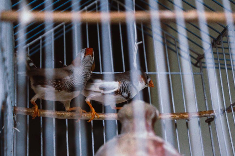 Zeberki zaliczane są do ziarnojadów. Podstawą ich diety jest mieszanka ziaren, którą należy uzupełniać świeżym pokarmem.