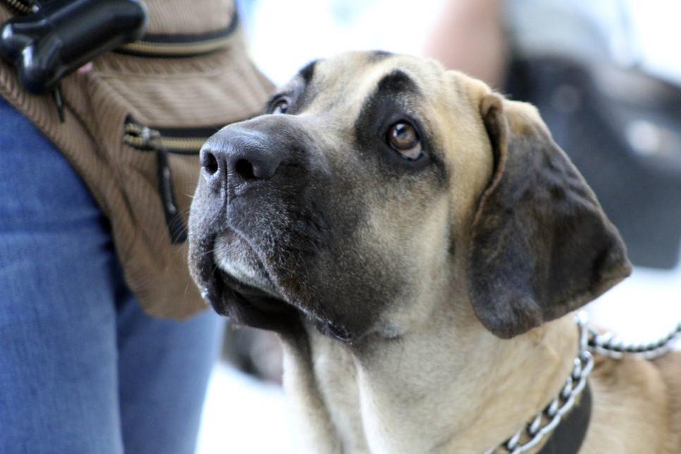 Fila brazylijska to duży pies, nazywany również mastifem