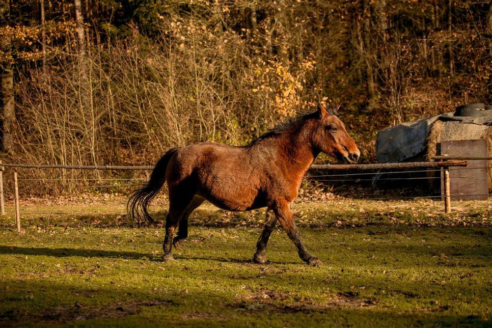 Koń huculski to jedna z najstarszych ras koni, która jest bardzo wyjątkowa.