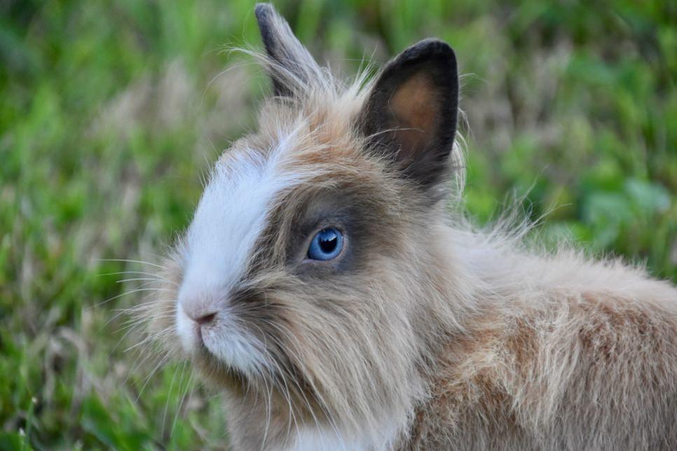 W naturalnym środowisku dobry wzrok pozwala na odpowiednią reakcję królików.