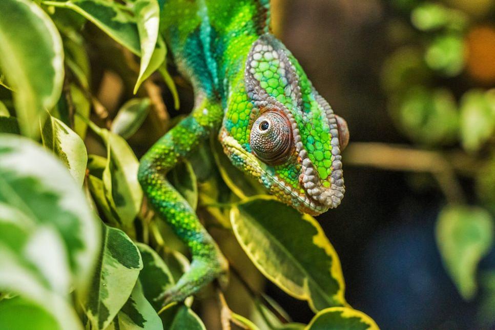 Kameleony znane są ze swoich barwnych kamuflaży i wypukłych oczu.