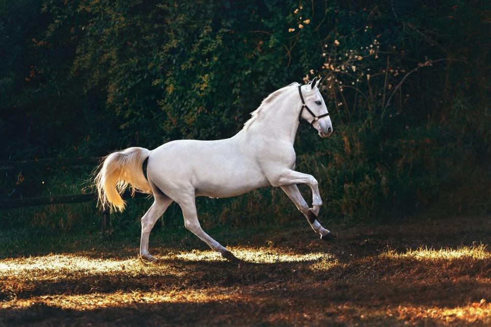Konie andaluzyjskie to przedstawiciele ras gorącokrwistych.