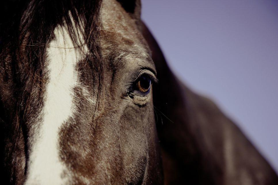 Czy koń widzi tak samo jak człowiek, jak funkcjonuje oko konia w ciągu dnia, a jak w nocy?