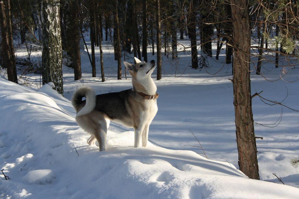 Łajka zachodniosyberyjska przez większość osób kojarzona jest z pierwszym psem w kosmosie. Czy słusznie?
