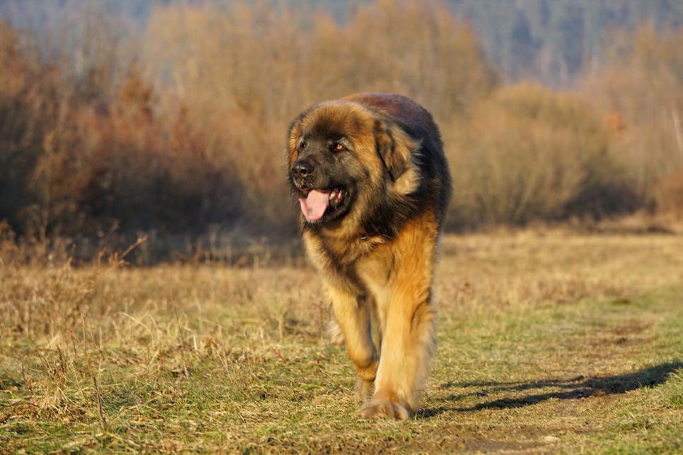 Leonberger to duży, niezwykle mądry i przyjacielski pies.