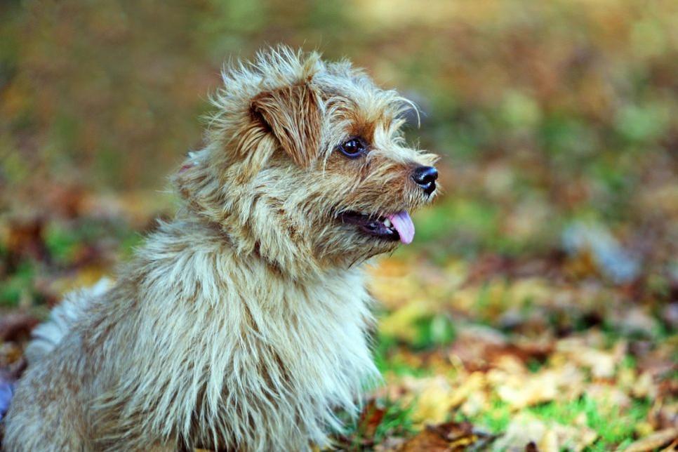 Norfolk terrier jest mało znaną rasą w Polsce, sprawdź czym się charakteryzuje i jak ją rozponać.