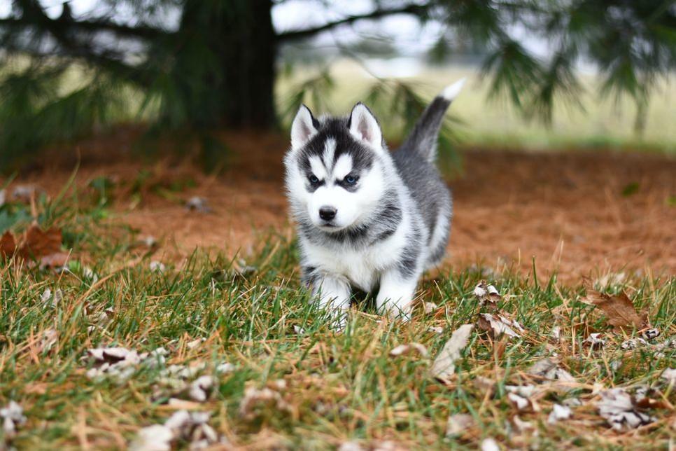 Czym się różni od psa husky i od szpica miniaturowego?