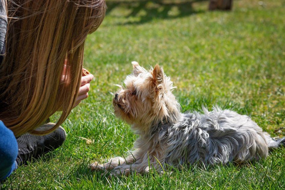 Szkolenie psa z użyciem klikera jest jednym z najbardziej efektywnych.