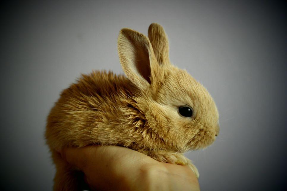 Jak poprawnie oswoić królika?
