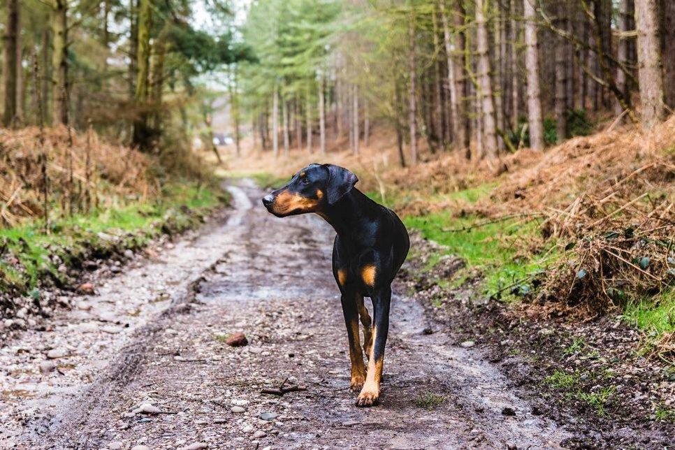 Beauceron to pies pasterski wymagający sporo ruchu na co dzień!