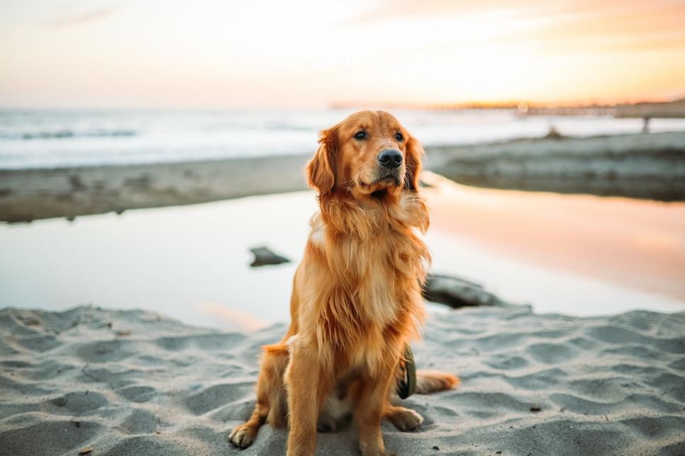 Encyklopedia psów: golden retriever