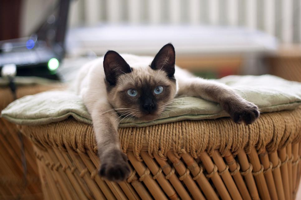 Encyklopedia kotów: kot rasy tajskiej (Thai)