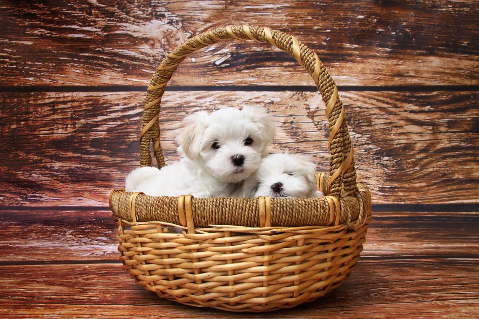 Niewielka, biała rasa psów, która skradła serca ludzi już w starożytności.