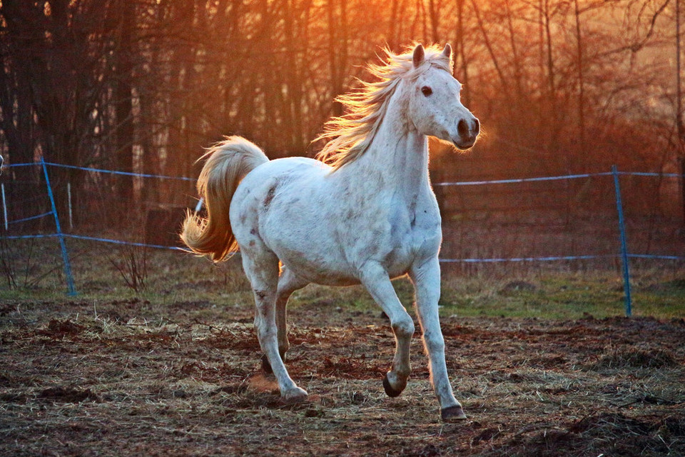 Mowa ciała konia jest bardzo ciekawa i może nam wiele powiedzieć o intencjach lub samopoczuciu konia.