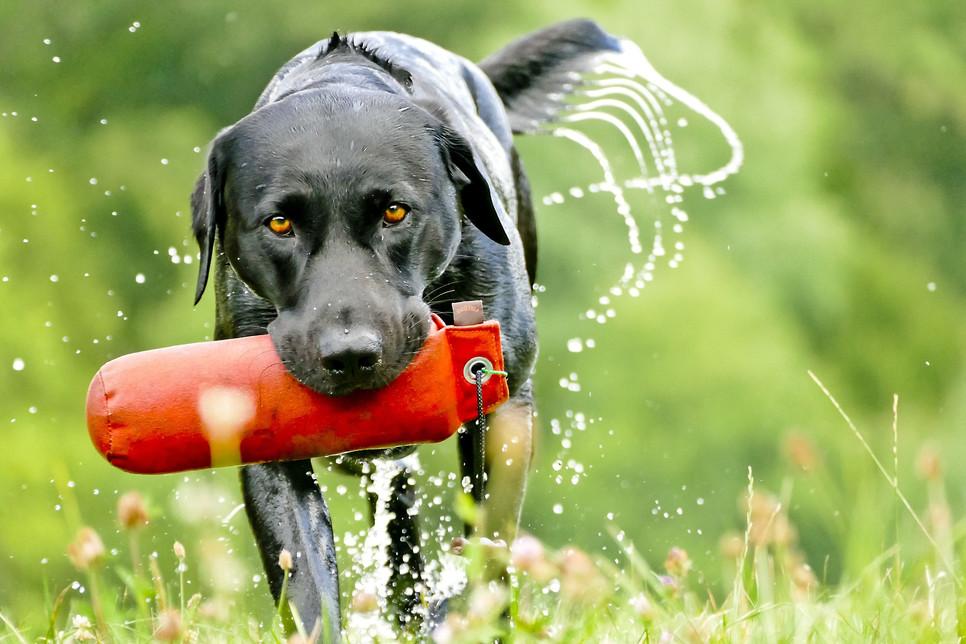 Psy myśliwskie obejmują sekcje: gończe, posokowce, tropowce, wyżły (legawce), płochacze, norowce, dzikarze, aportery.