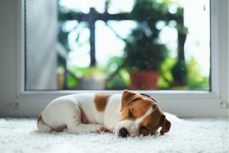 Psy nie zapadają na chorobę spowodowaną przez koronawirusa SARS-CoV-2