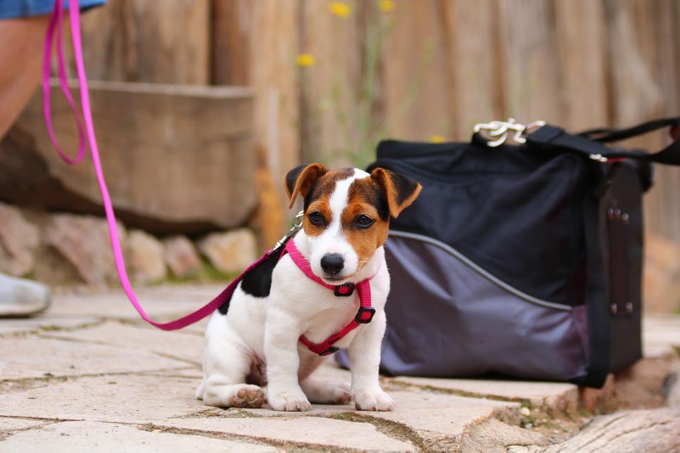Zarówno obroże, jak i szelki dla szczeniaka powinny być wykonane z wysokiej jakości, wytrzymałych, a zarazem wygodnych dla psa materiałów.