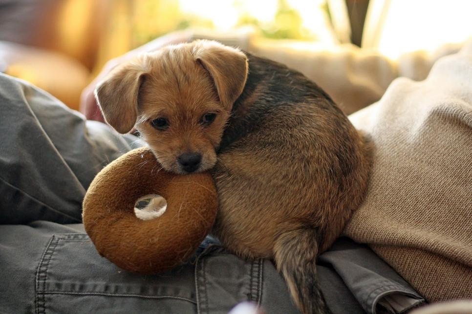 Socjalizowanie psa służy pokazaniu mu obowiązujących norm, wpojeniu wzorców zachowań. Najważniejsza faza emocjonalnego rozwoju to okres pomiędzy 3 a 18 tygodniem życia.