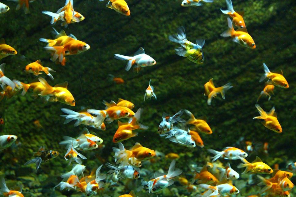 Ryby do oczka wodnego sprawią, że ta ozdoba ogrodowa zyska na atrakcyjności. Popularne gatunki to różanka i złota orfa.