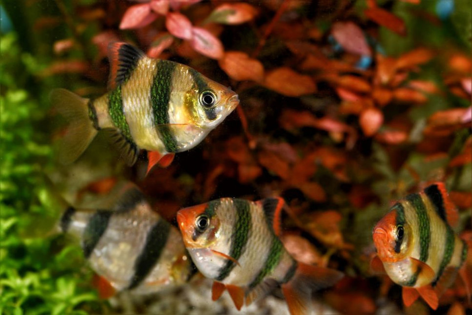 Brzanka sumatrzańska, jak rozpoznać samca i samice? Czy brzanka to popularny gatunek wśród ryb akwariowych, jakie wymagania hodowlane ma ryba? Informacje w artykule.