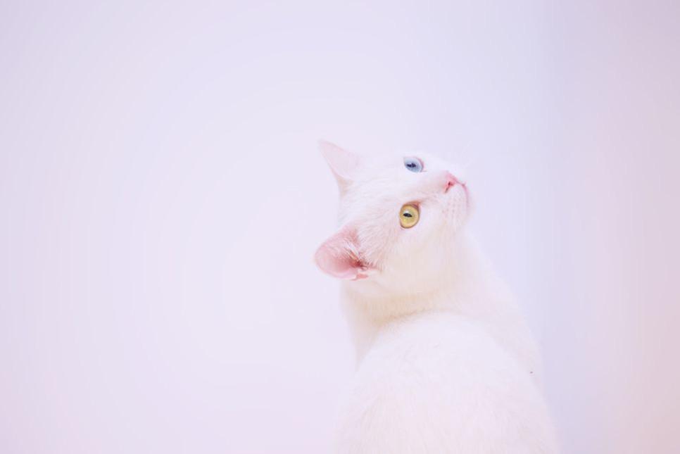 Khao Manee, rasa wywodząca się z Tajlandii uznawana jest za najdroższą rasę kotów na świecie. Czy słusznie?