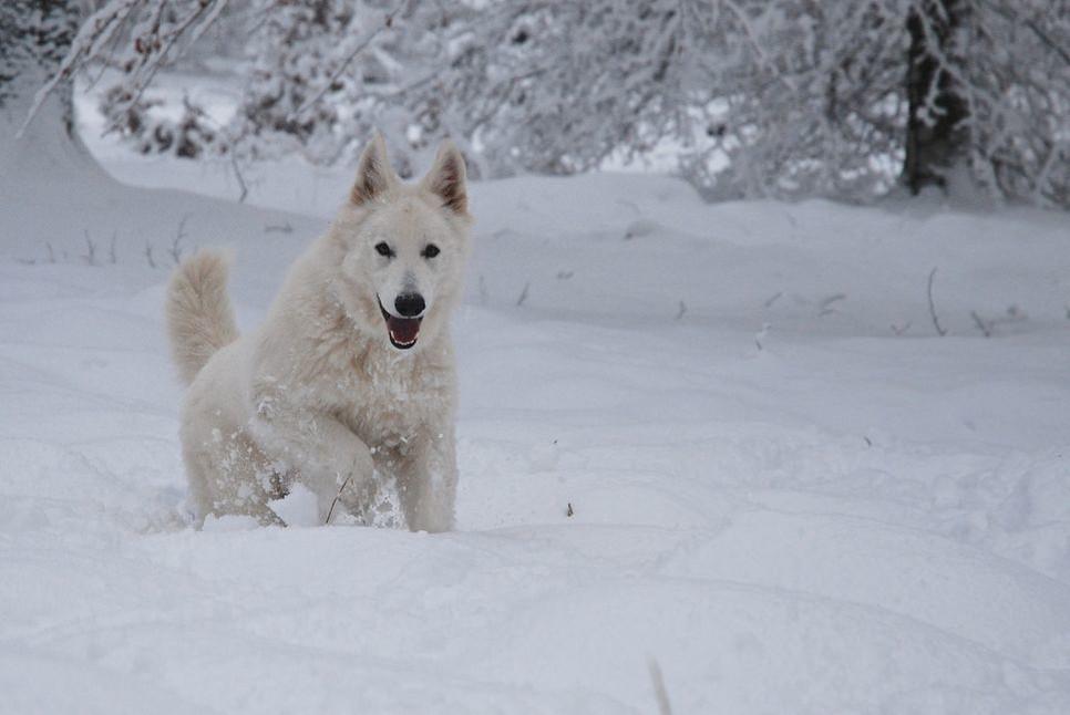 Jaki charakter ma BOS? Dla kogo jest biały owczarek szwajcarski?