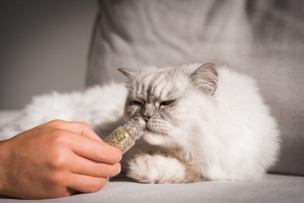 Jak waleriana oddziałuje na koty? Jakie ma właściwości?