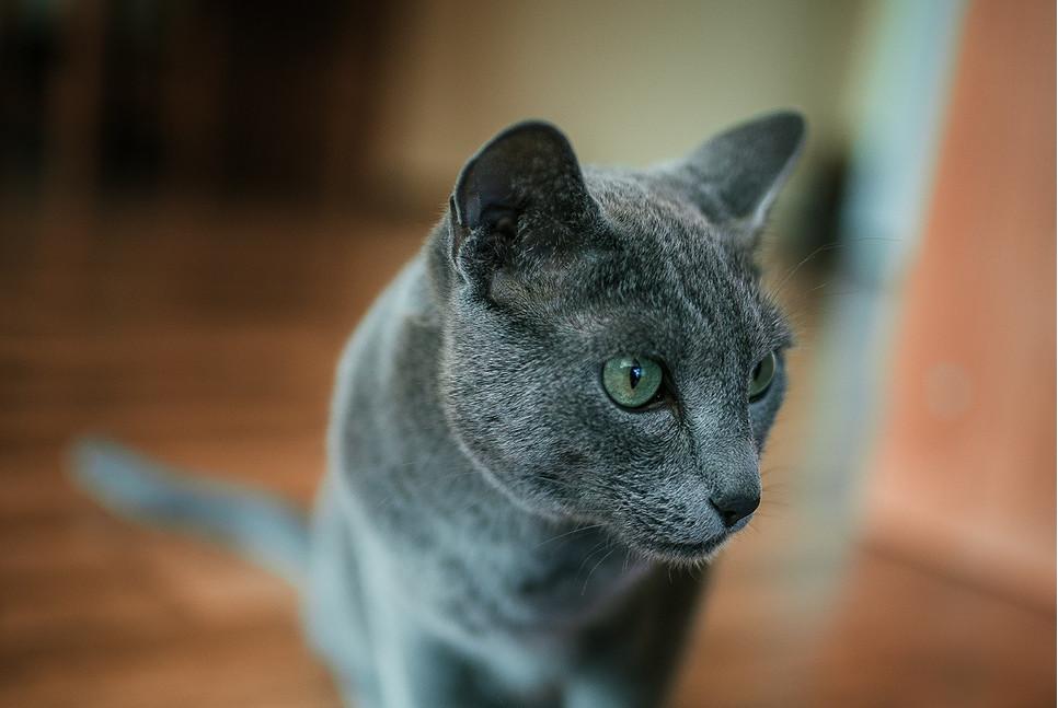 Encyklopedia kotów: kot rasy rosyjskiej niebieskiej (Russian blue cat). Jakie są zielonookie koty rosyjskie?