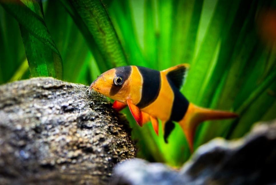 Bocja wspaniała pomoże uporać Ci się ze niechcianymi ślimakami w akwarium!