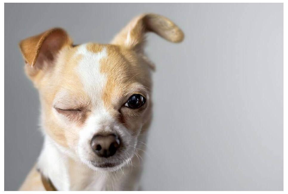 Czipowanie psa - czy jest konieczne?