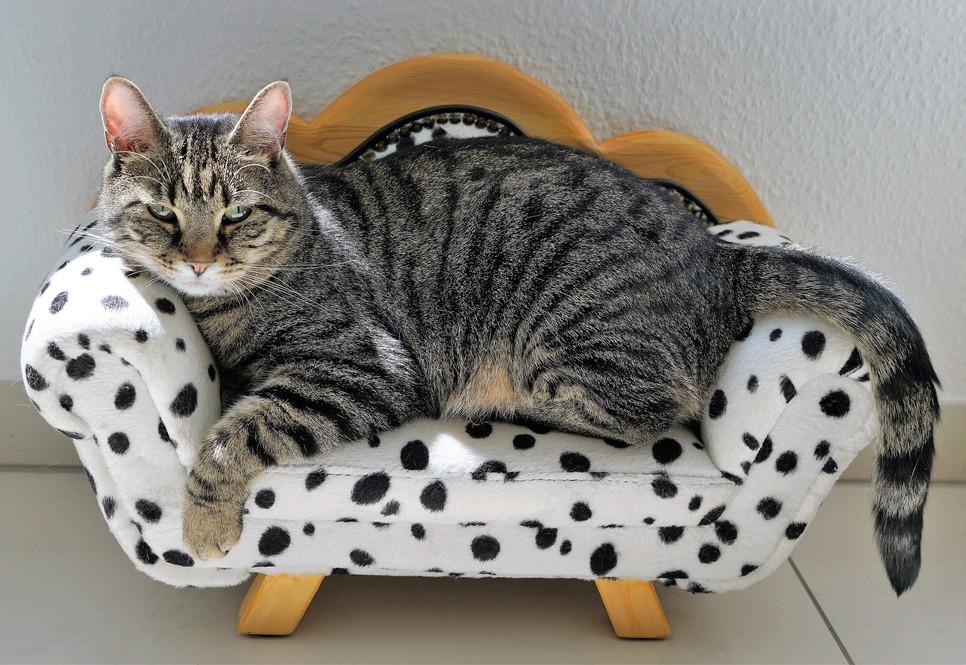 Jakie są największe koty na świecie? Jaka rasa kota wyróżnia się wyjątkowo dużą wielkością?