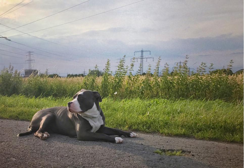 American Bully to pies wyglądający groźnie. Jest muskularny, ale rodzinny i spokojny.