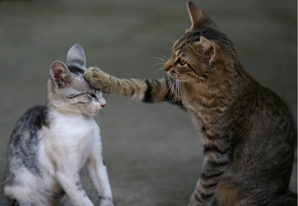 Wprowadzenie do mieszkania nowego zwierzęcia, a szczególnie kota wymaga zastosowania socjalizacji z izolacją. W przeciwnym wypadku zaserwujemy kotom ogrom stresu i ciągłe bójki.