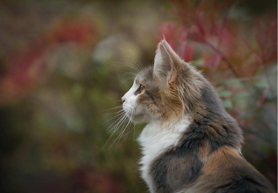 Przeczytaj, skąd się wziął najpopularniejszy mit o kocich życiach. Wyjątkowa liczba to siedem, dziewięć, a może jeden?