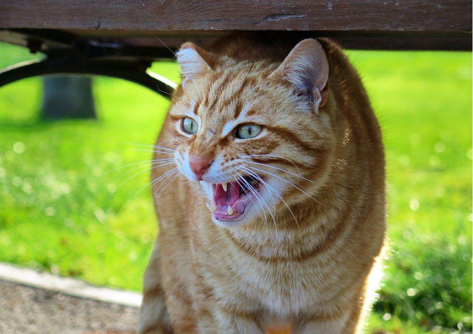 Odgłosy kota to obok wielkości źrenic, ułożenia wąsów i uszu oraz ruchu ogona sposób komunikacji z otoczeniem.