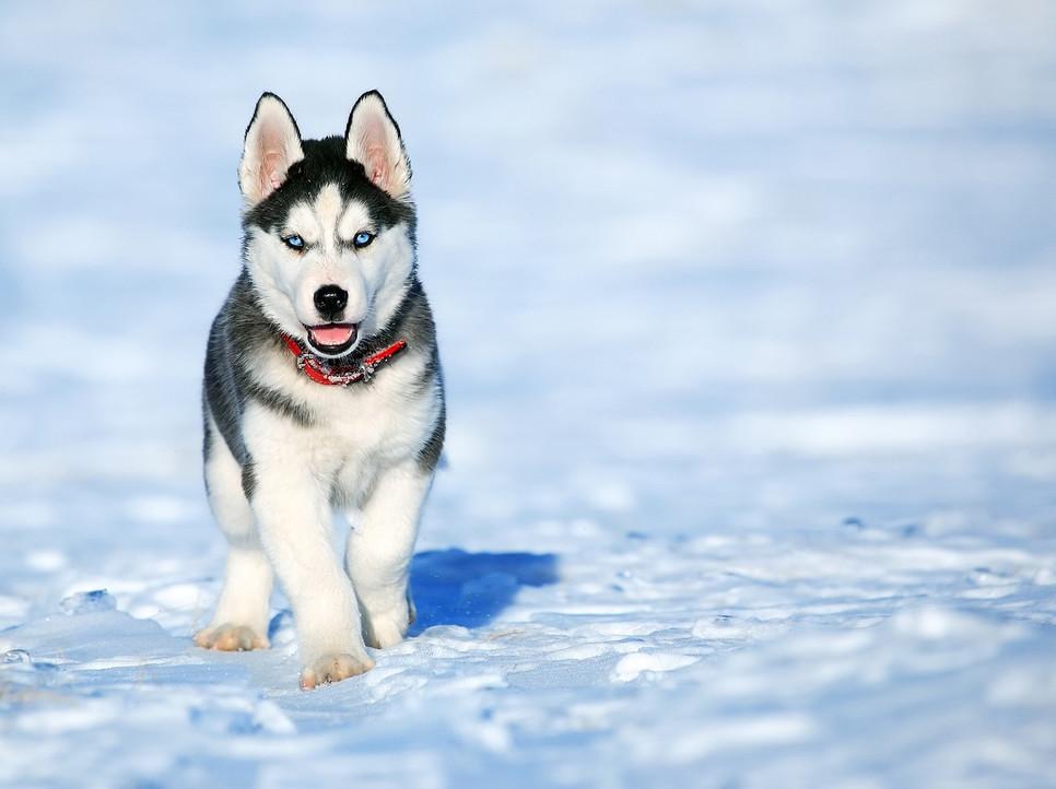 Encyklopedia psów: syberian husky