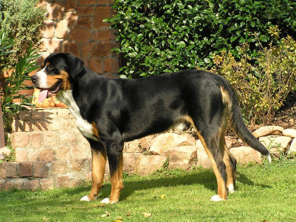 Wychowanie i tresura Entlebuchera - małego szwajcarskiego psa pasterskiego.