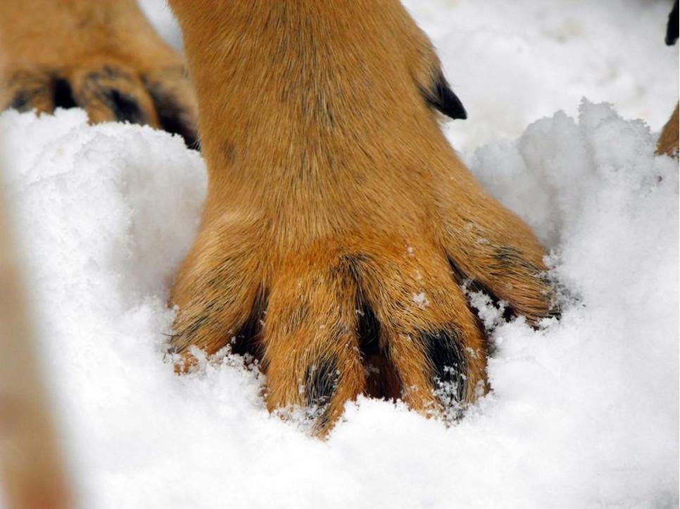 Wilczy pazur, mimo swojej nazwy, spotkać można u niektórych psów, a nawet kotów.