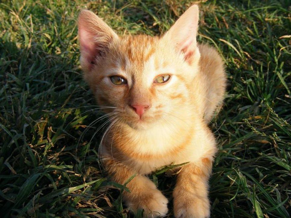 Towarzyski, przyjazny kot cejloński wywodzący się z Azji.