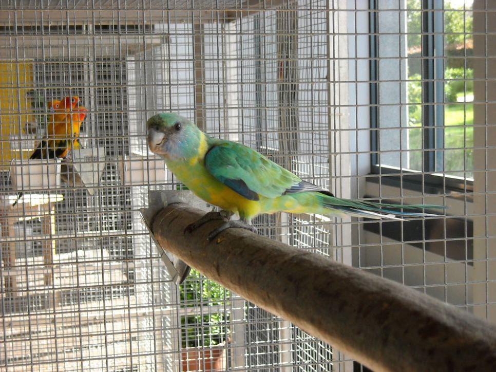 Jak oswoić papugę? To długotrwały proces, który opiera się na cierpliwości i zaufaniu. Wymaga czasu i odpowiednich warunków.