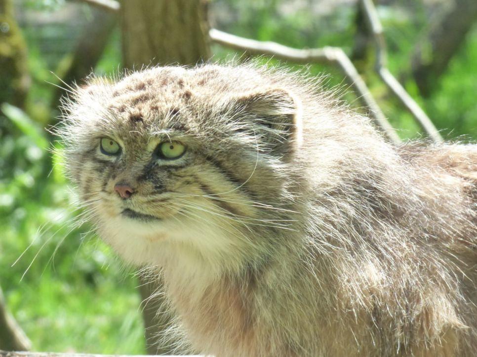 Manul stepowy jest drapieżnym ssakiem z podrodziny kotowatych.