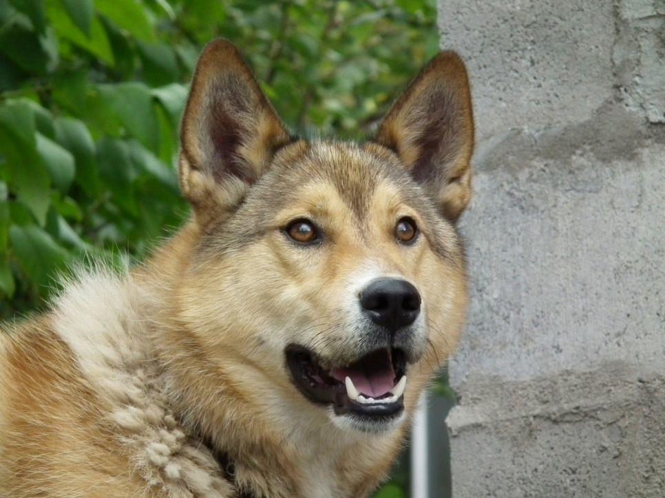 Najważniejsze informacje o rasie psa Shikoku.