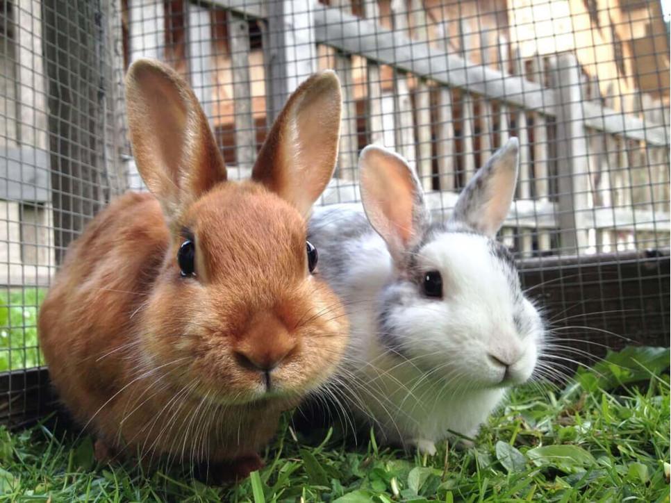 Jak karmić króliki?