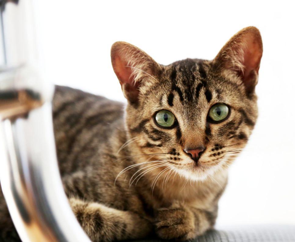 Jaki charakter ma kot toyger, jaka jest jego cena i dlaczego tak bardzo rozkochuje w sobie swoich właścicieli?