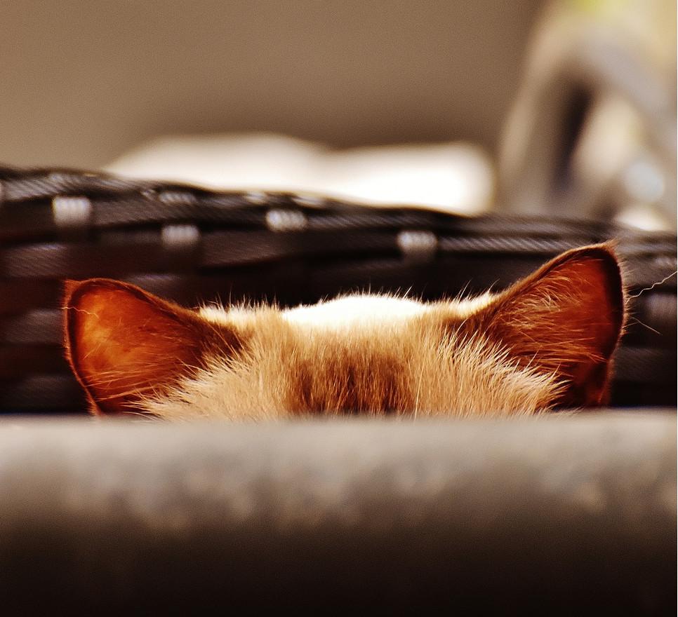 Uszy kota są niezwykle czułe i obok wibrysów pomagają kotom w poruszaniu się, kiedy zawiedzie wzrok.